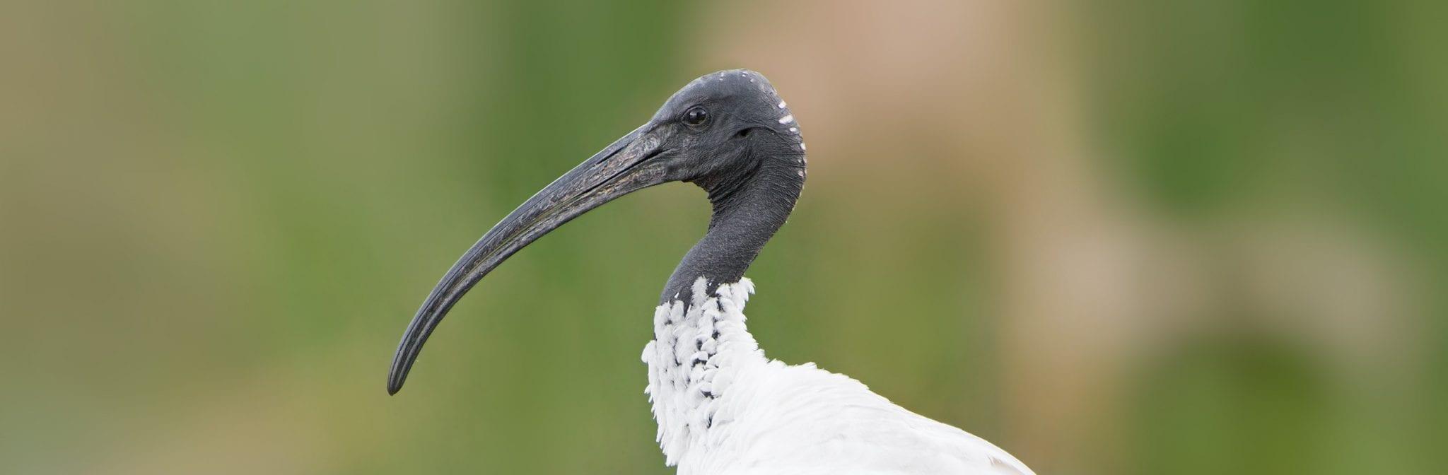 Threskiornis_molucca_-_Perth